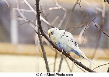 White Parakeet on a Limb