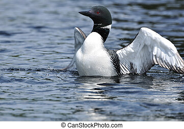 Common Loon Displaying - Common Loon (Gavia immer)...