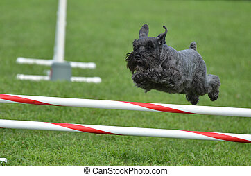 Black Miniature Schnauzer at a Dog Agility Trial - Black...