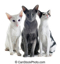 three oriental cats - portrait of three oriental cats in...