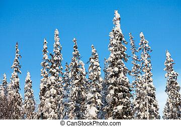 snow-covered fir tree on blue sky