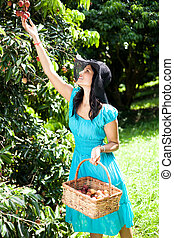 young woman picking litchis in lychee orchard
