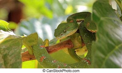 Eyelash viper Bothriechis schlegel - A venomous pitviper...