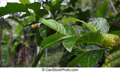 Great Morinda or Noni fruit