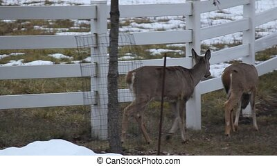 Whitetail Deer Taking a Shortcut - If you have ever wondered...
