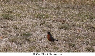 Red Robin Hunting - As spring nears the Robins start showing...