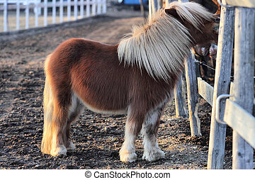Shetland Pony - Playful Shetland Pony having fun with a...