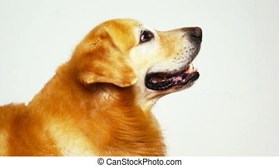 Golden Retriever  - Side view of Golden Retriever on white