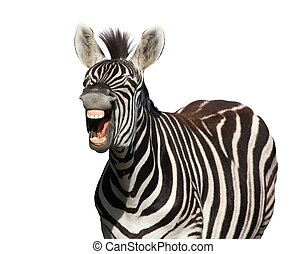 Zebra Laugh or Shout - Zebra with a look of laughter...