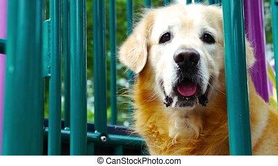 Golden Retriever at playground