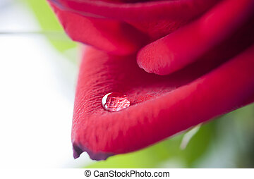 dewdrop - drop of dew on red rose petals, horizontal framing