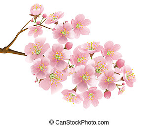 Sakura isolated over white