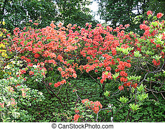 Rhododendrons in spring - rhododendrons in the Botanic...