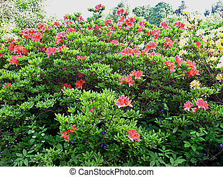 Rhododendron in the Botanic garden of the University of...