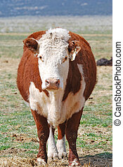 Hereford Cow - Hereford cow standing up looking straight...