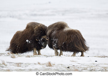 Fighting Musk-ox pair in Norge - Musk-ox pair in Norge in...