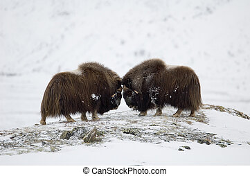 Fighting Musk-ox pair in Norge