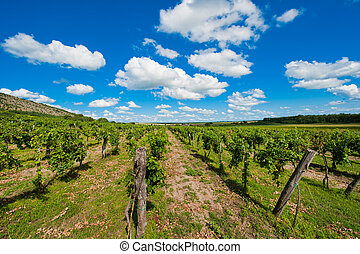 Wineyard - View of a wineyard in spring with clouds
