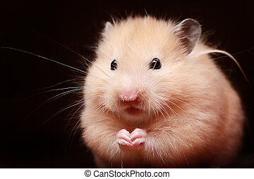 hamster - Hamster close up