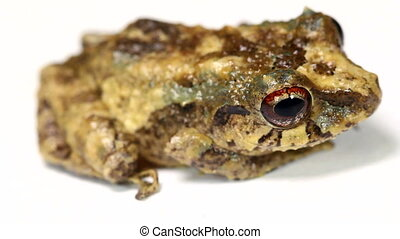 Rain frog Pristimantis sp - An inhabitant of the Choco...