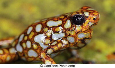 Harlequin Poison Frog - Oophaga sylvatica, Colour variant...