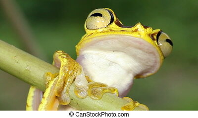 Imbabura Treefrog - Hypsiboas picturatus, In rainforest in...