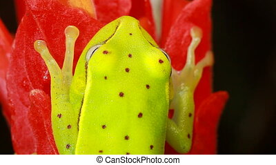 manchado,  (hypsiboas,  Treefrog,  punctat