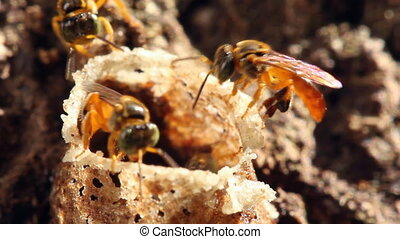 Amazonian sweat bees - at entrance of nest, In tropical...