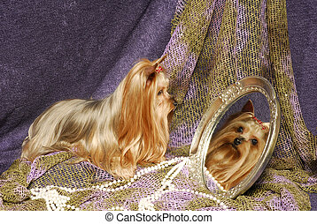 Yorkie Looking in Mirror - A beautifulf silky yoekshire...