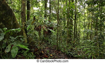 Large rainforest tree - Large tree with buttressed roots in...