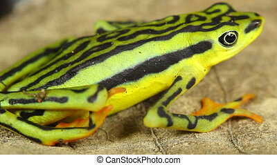 Elegant Stubfoot Toad - Atelopus elegans, Listed as...