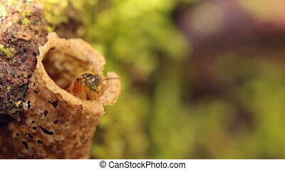 Amazonian sweat bees