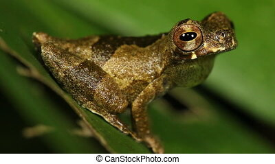 Short-headed Treefrog - Dendropsophus parviceps, Male...