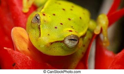 manchado, Treefrog, (Hypsiboas, punctat