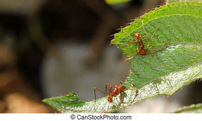 Leaf cutter ants Atta sp - Cutting leaves in the forest...