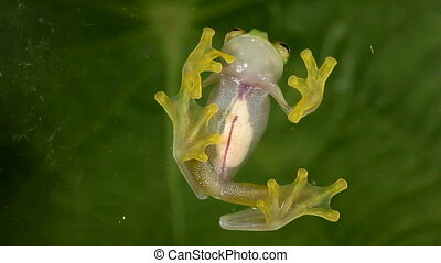 Glass Frog (Hyalinobatrachium sp.) - Underside viewed...
