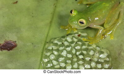 Glass frog with eggs - Glass frogs attach their eggs to a...