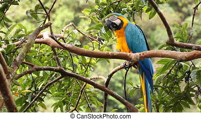 Blue-and-yellow Macaw (Ara ararauna - In a tree in the...