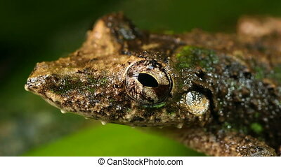 Snouted Treefrog - Scinax garbei, in the Ecuadorian Amazon