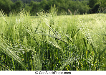 Fields of barley - Beautiful agricultural background....