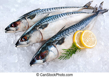Mackerel fish on ice - Fresh mackerel fish Scomber scrombrus...