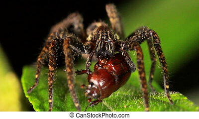 Wandering Spider family Ctenidae - In tropical rainforest at...