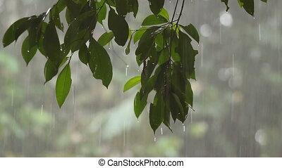 Rain in tropical rainforest - In the Ecuadorian Amazon