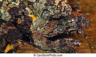 Neotropical marbled treefrog - Dendropsophus marmoratus,...