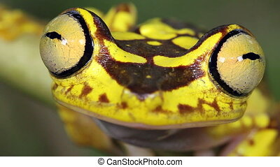 Imbabura Treefrog - Hypsiboas picturatus, An inhabitant of...