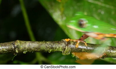 Tiger-striped Leaf Frog - Phyllomedusa tomopterna. Walking...