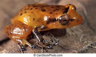 Esmeraldas Robber Frog - Diasporus gularis, One of the few...