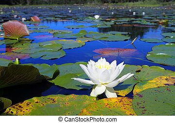 Water lilies in bloom - Beautiful water lilies blooming in...