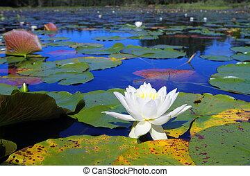 Water lilies in bloom - Beautiful water lilies blooming in...
