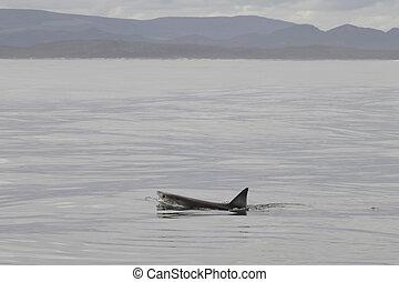 great white shark swimming